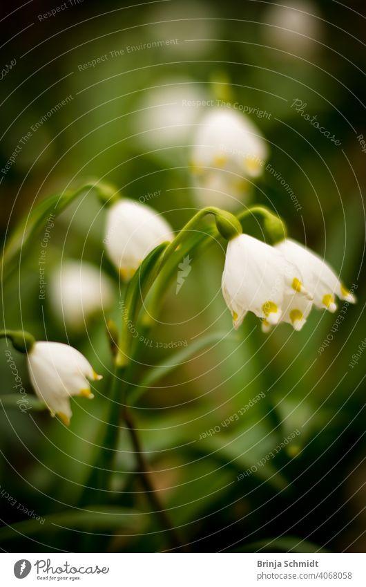 Wunderschöne Märzenbecher im Wald als Nahaufnahme similar leucojum vernum rare bell white flowers protected lovely early snowbell surrounding closeup blur bokeh