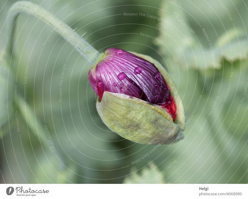 Mo(h)ntag - aufbrechende Knospe des Schlafmohns mit ein paar Regentropfen Mohn Mohnblüte Mohnknospe Schlafmohnknospe Aufbruch Tropfen Pflanze Blüte Natur Sommer