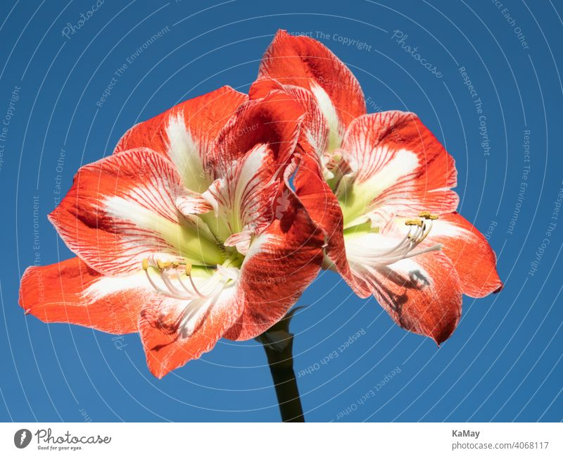 Nahaufnahme von zwei rot-weißen Blüten der Amaryllis Ritterstern Blütenstand blühen Close-up Weiß blau freigestellt Winter horizontal Pflanze Außenaufnahme