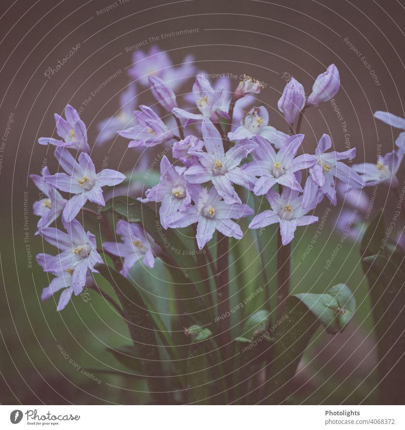 Frühlingsblüher Blumen Zwiebeln Blüte Pflanze Natur Farbfoto Garten Blühend Außenaufnahme grün Nahaufnahme weiß Menschenleer Schwache Tiefenschärfe