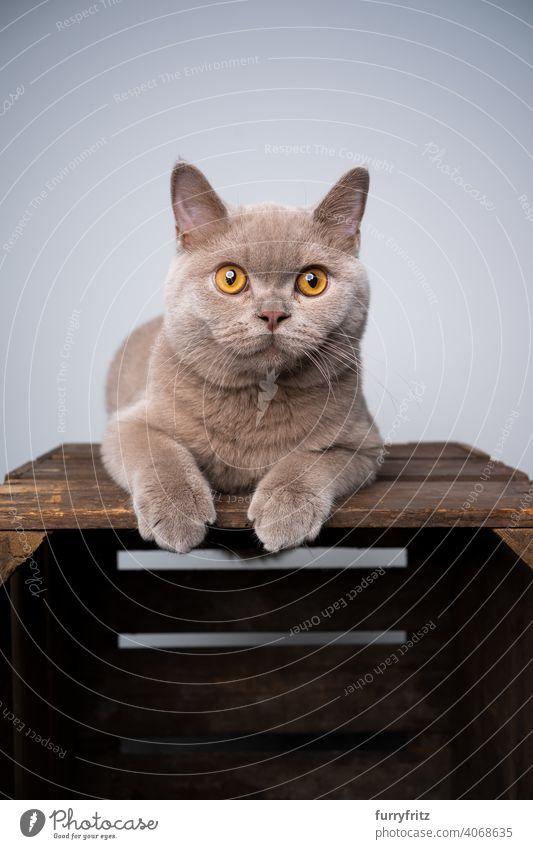 lilafarbenes Britisch-Kurzhaar-Kätzchen, das auf einer Holzkiste ruht und neugierig schaut Katze Haustiere Rassekatze britische Kurzhaarkatze fluffig Fell
