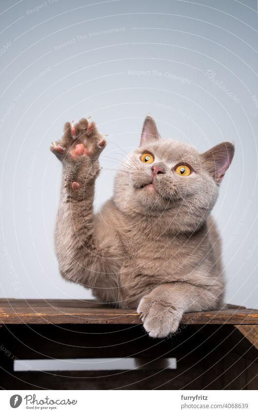 fliederfarbenes Britisch Kurzhaar Kätzchen spielt Pfote heben Katze Haustiere Rassekatze britische Kurzhaarkatze fluffig Fell katzenhaft Katzenbaby 6 Monate alt