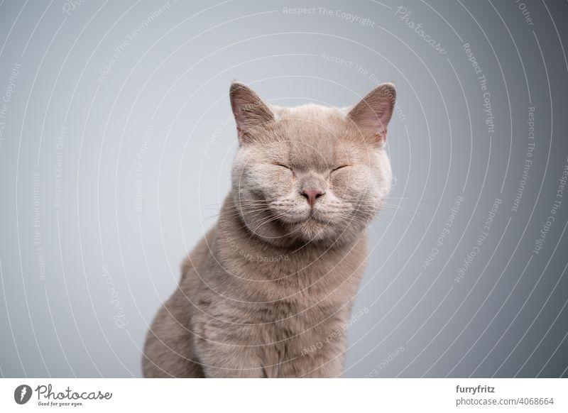 Britisch-Kurzhaar-Kätzchen mit geschlossenen Augen auf grauem Hintergrund mit Kopierraum Katze Haustiere Rassekatze britische Kurzhaarkatze fluffig Fell