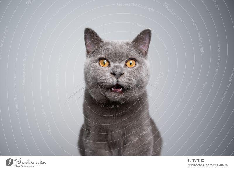 Britisch-Kurzhaar-Kätzchen schaut schockiert oder überrascht in die Kamera Katze Haustiere Rassekatze britische Kurzhaarkatze fluffig Fell katzenhaft Katzenbaby