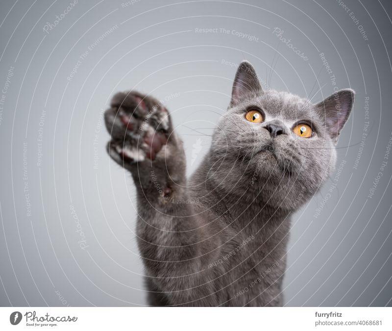 neugieriges Britisch-Kurzhaar-Kätzchen hebt die Pfote und greift nach Leckerlis Katze Haustiere Rassekatze britische Kurzhaarkatze fluffig Fell katzenhaft