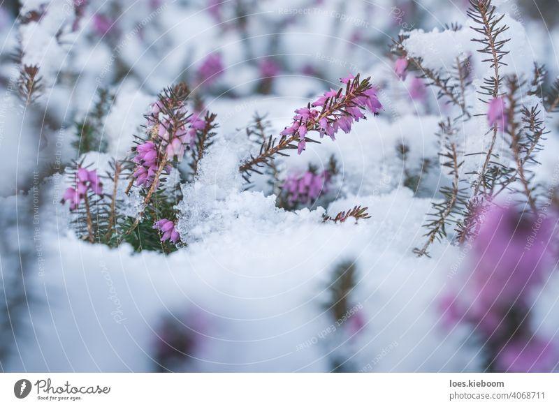 Frühling trifft Winter, Frühlingsheide mit Neuschnee bedeckt, Österreich Blüte Schnee Heide Schlacht erica Frost purpur Blume Saison Kristalle Erica Carnea Eis