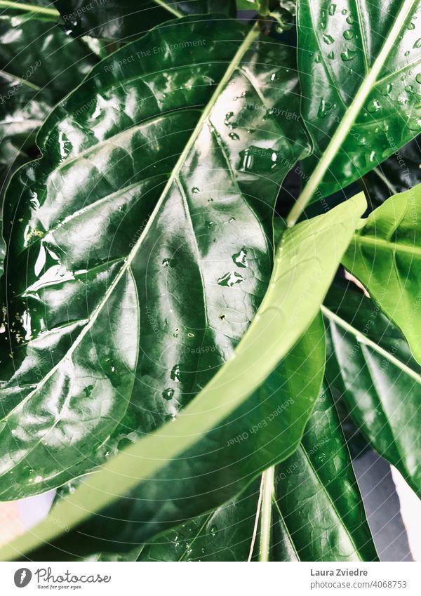 Regentropfen auf den Blättern Blatt grüne Blätter Nahaufnahme Pflanze Makroaufnahme Natur Wassertropfen nass Damp frisch Strukturen & Formen Detailaufnahme