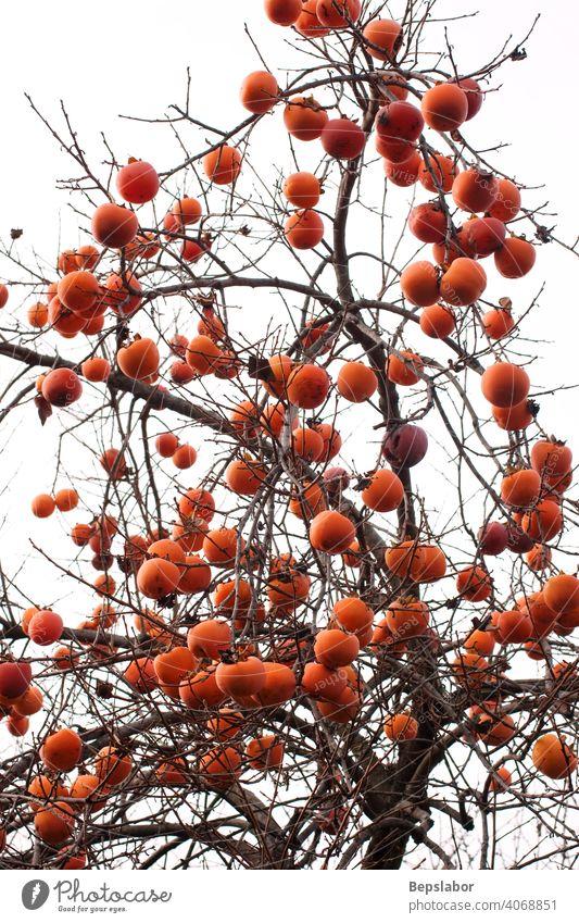 Kakis am Baum Herbstpflanze Ast Kalorie farbenfroh kulinarisch Diät Lebensmittel frisch Frucht Gesundheit Saft natürlich Natur Ernährung orange organisch reif