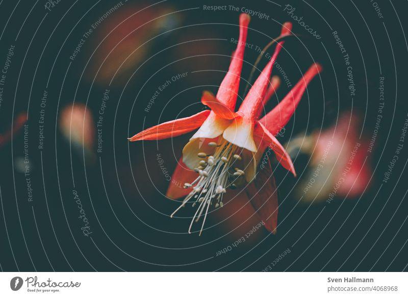 rote Akelei Blumen und Pflanzen Frühling Landschaft Fahne Makro Natur Blüte Farbfoto Garten Hintergrund neutral Nahaufnahme Sommer Park Blühend Detailaufnahme