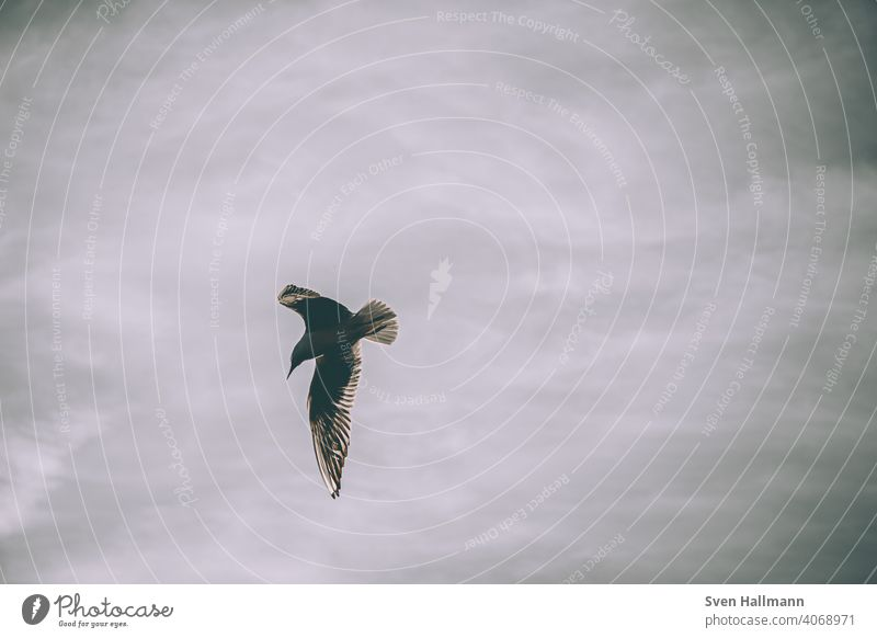 Möwe fliegt in den Himmel fliegen Ruhe vogel Vogel Feder Freiheit Tier Natur Meer Ostsee Flügel Vögel Strand Außenaufnahme Küste Farbfoto