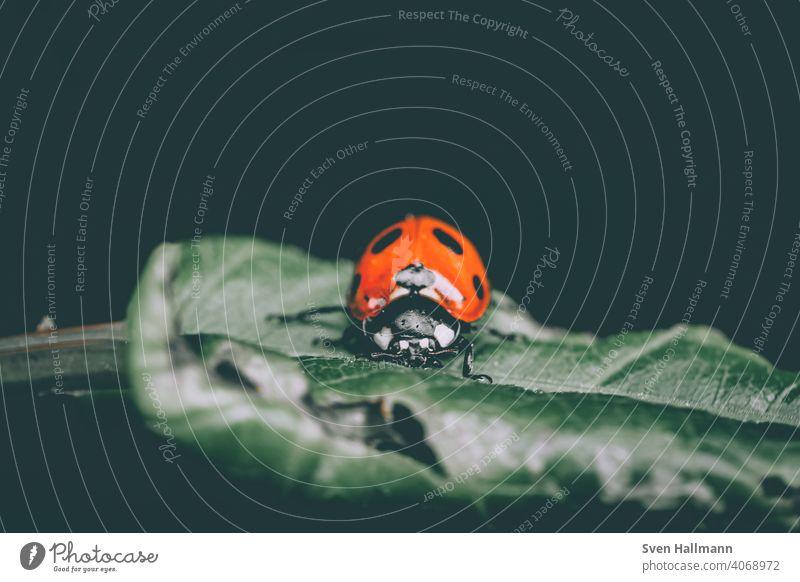 kleiner Marienkäfer auf einem Blatt Blumen und Pflanzen Frühling herbst Fahne Insekt Makro Natur Sommer Käfer Tier grün Makroaufnahme Glück rot Farbfoto