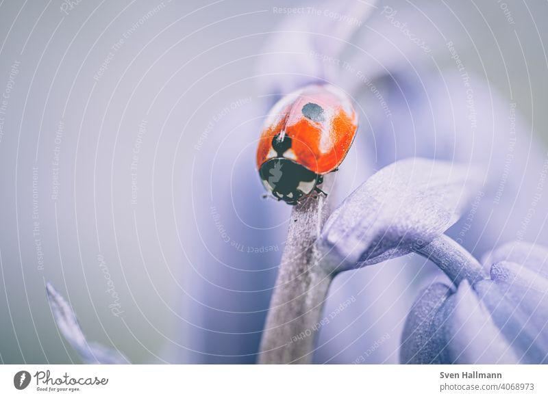 kleiner Marienkäfer auf Blütenstiel Blumen und Pflanzen Frühling herbst Blatt Fahne Insekt Makro Natur Sommer Käfer Tier grün Makroaufnahme Glück rot Farbfoto