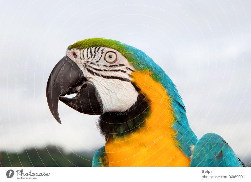 Blauer und gelber Papagei Ara Vogel Haustier Schnabel blau Tier farbenfroh Tierwelt schön vereinzelt wild tropisch Natur niedlich eine grün Federn natürlich