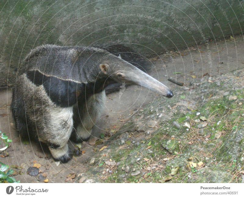 Ameisenbär Natur Tier Elefant Bär Rüssel Ameisenbären