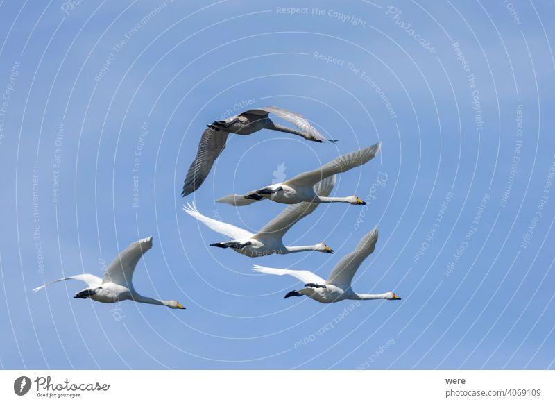 Singschwäne fliegen am blauen Himmel Vogelschwarm Formation Singschwan Tier Vogelzug Höckerschwan Textfreiraum Federn Fliege fliegen blauer Himmel