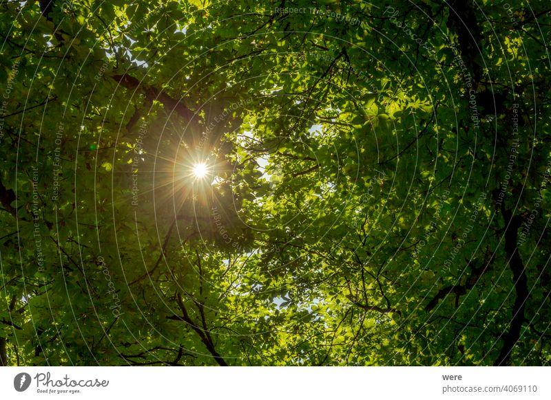 Sonnenstrahlen fallen durch ein Dach aus grünen Kastanienblättern Niederlassungen Textfreiraum Wald heiß lassen Natur niemand geschützt strahlend Landschaft