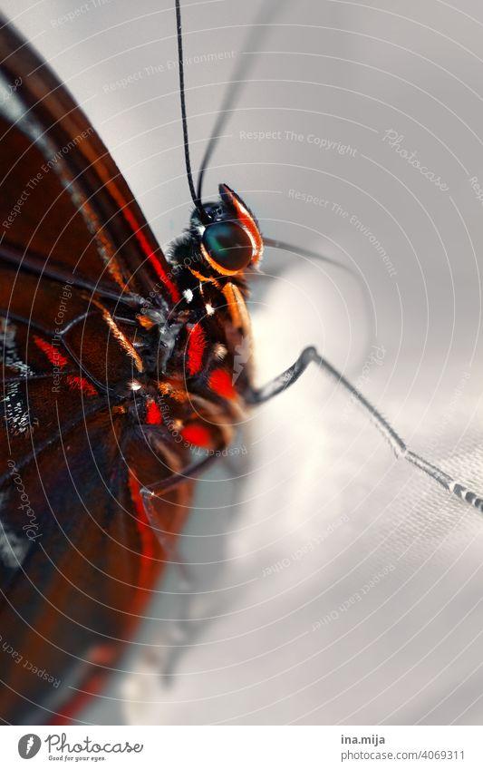 Schmetterling Insekt Insektenschutz Makroaufnahme Flügel Tier Natur Fühler Facettenauge Detailaufnahme Tierporträt klein Nahaufnahme Menschenleer filigran