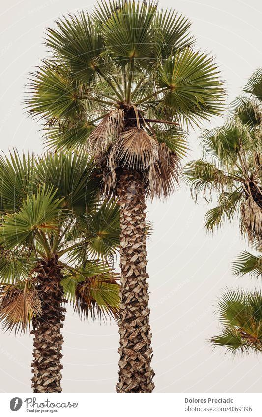 foto von hohen palmen an der spanischen costa brava Umwelt grün Baum Natur Ferien & Urlaub & Reisen Außenaufnahme Palme exotisch Pflanze Tag Schönes Wetter