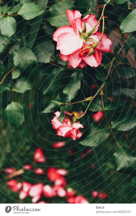 Rosenstrauch Rosenblätter Rosenblüte Farbfoto Blüte Blume Pflanze rosa Natur Außenaufnahme Sommer Blühend Menschenleer Schwache Tiefenschärfe Romantik Garten