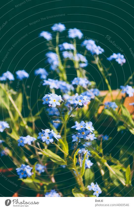 Vergissmeinnicht Vergißmeinnicht Blüte Gartenblume blau Sommer Blühend Frühling Nahaufnahme Menschenleer Natur Außenaufnahme Farbfoto Pflanze grün