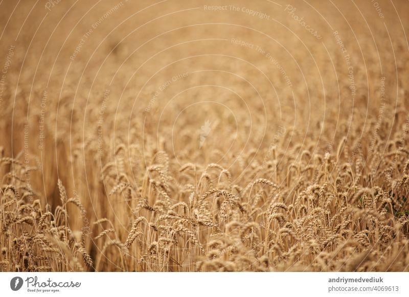 Ländliche Szenerie. Hintergrund der reifenden Ohren von Weizen Feld und Sonnenlicht. Feldfrüchte. Selektiver Fokus. Feldlandschaft. bereit Ernte Mais golden