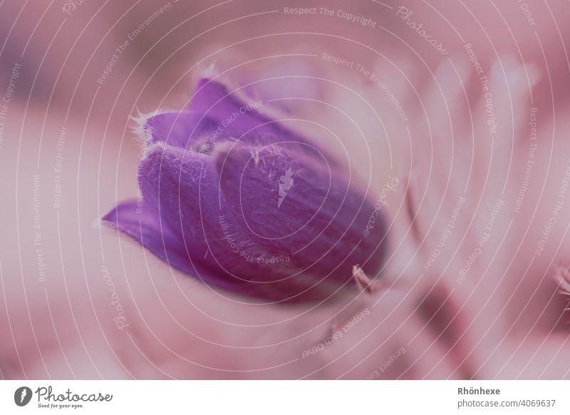 Küchenschelle, Kuhschelle oder Pulsatilla vulgaris in einem zarten rosa Ton Schwache Tiefenschärfe Außenaufnahme Pflanze Menschenleer Nahaufnahme Tag Natur