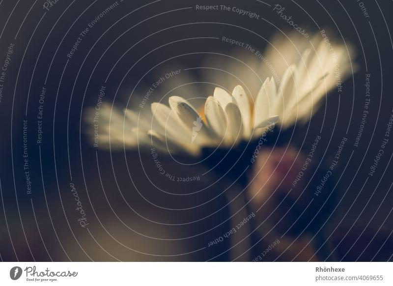 zartes Gänseblümchen mit leuchtenden Blütenblättern Blume Wiese Frühling weiß Pflanze Außenaufnahme Farbfoto Makroaufnahme Blatt Natur flower frisch