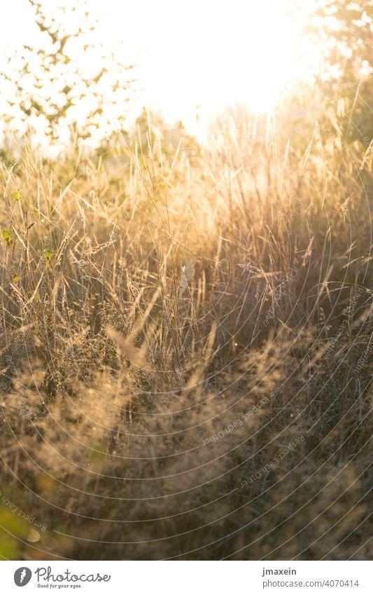 Wiese im Sonnenlicht Gras Gräser Gegenlicht Frühling Sommer Wärme Sonnenstrahlen Sonnenuntergang Sonnenaufgang Stimmung Picknick