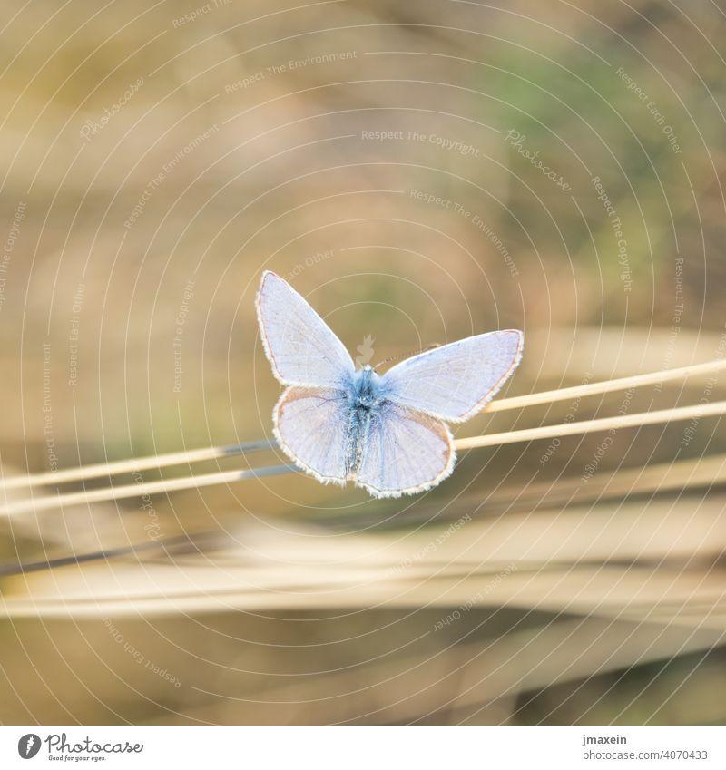 Bläuling Schmetterling Sommer Frühling Sonne Stroh Halm Wiese Natur Tier Flügel Insekt Naturschutz