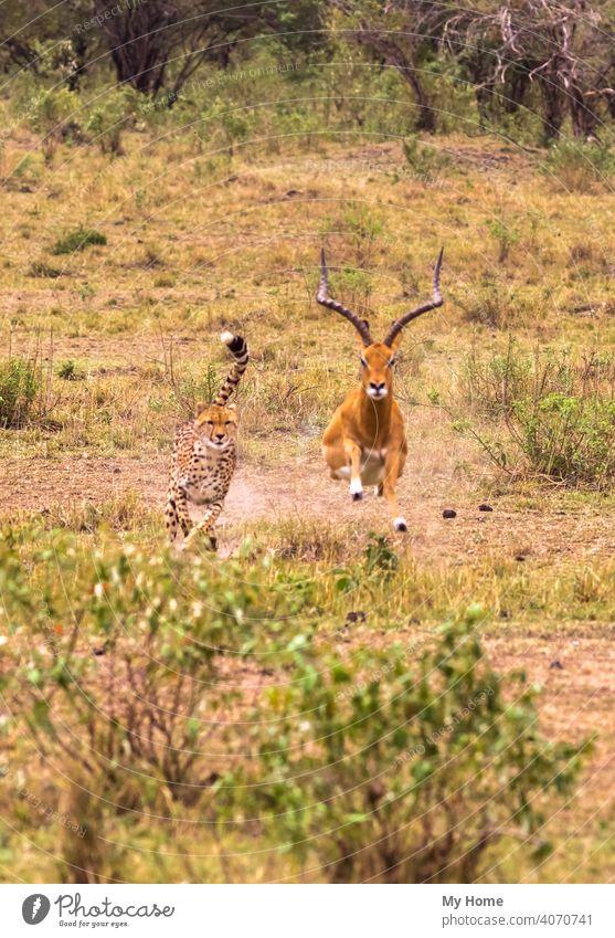 Fotoserie: Gepard auf der Jagd nach großem Impala. Masai Mara, Kenia Afrika Afrikanisch Tier Tiere Antilopen Biest Bestien schön braun Fleischfresser Katze