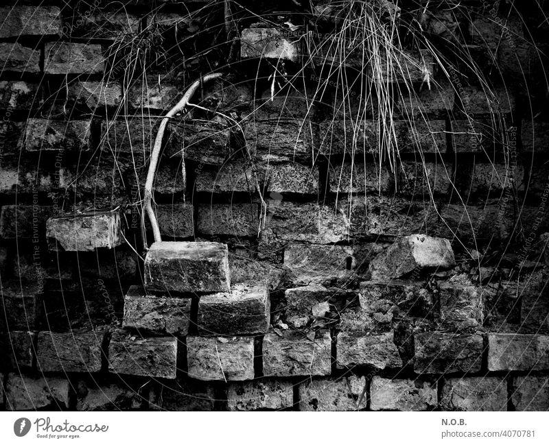 Verfallene Mauer mit Gestrüpp in Schwarzweiß Wand Außenaufnahme Menschenleer Mauersteine alt verfallen Vergänglichkeit kaputt Zerstörung Ruine