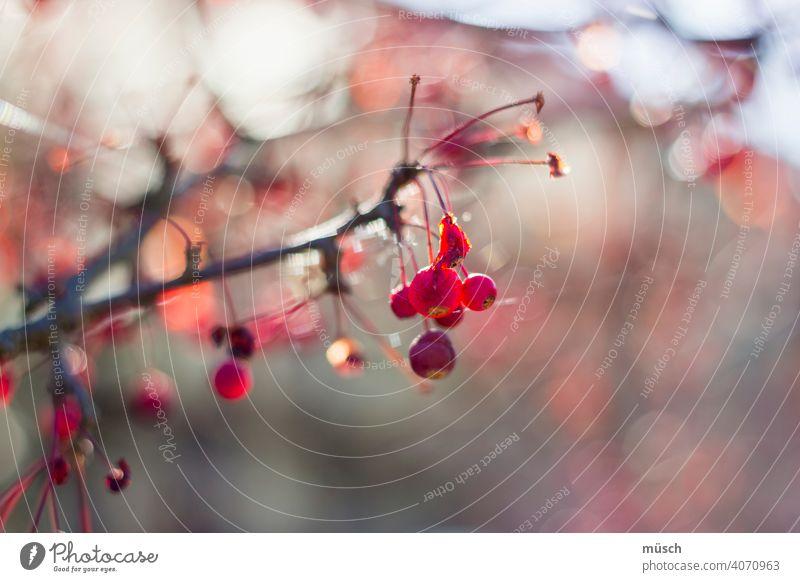 Herbstzweig Zweig Ast Frucht Romantik Sonnenlicht Strauch Beeren rot Wärme Garten grau Reflexionen Baum blau Boukeé Jahreszeit