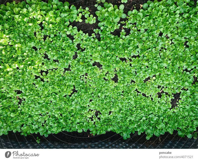 da haben wir den salat Salat Rapunzel Ackersalat frisch wachsen gesund Garten Winter viele Vitamine Ernährung lecker Gemüse grün Feldsalat Hochbeet