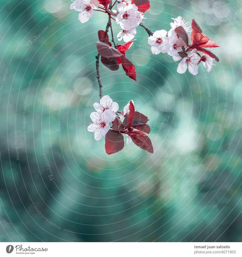 schöne Kirschblüte im Frühling, Sakura Blume Kirschblüten Sakura-Blüte Sakurabaum rosa Blütenblätter geblümt Flora Natur natürlich dekorativ
