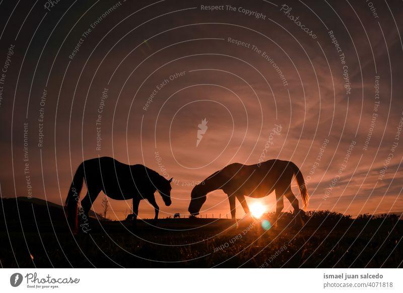 Pferde grasen auf der Wiese mit dem Sonnenuntergang Silhouette Sonnenlicht Tier Tiermotive wild Natur niedlich Schönheit elegant wildes Leben Tierwelt ländlich