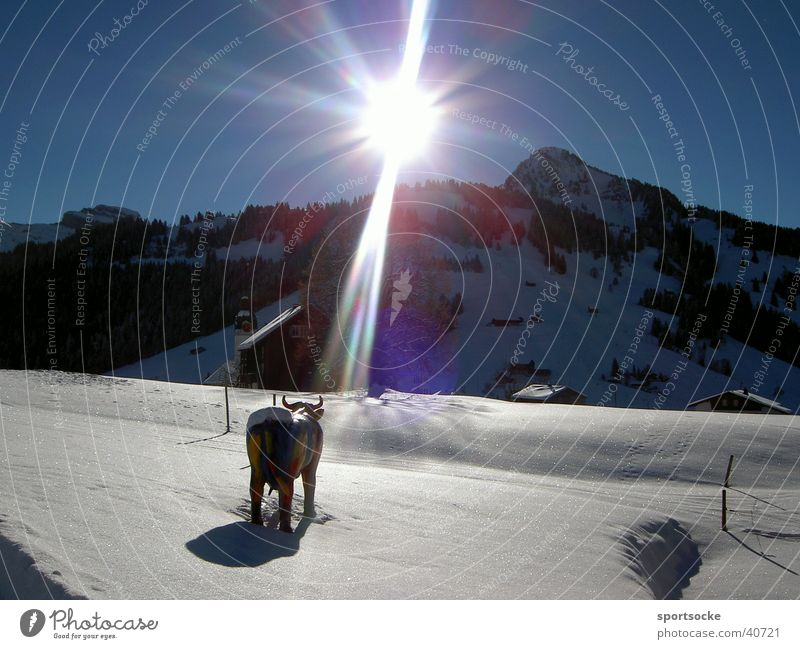 Kuh im Schnee Sonne Winter Berge u. Gebirge Beleuchtung Rind