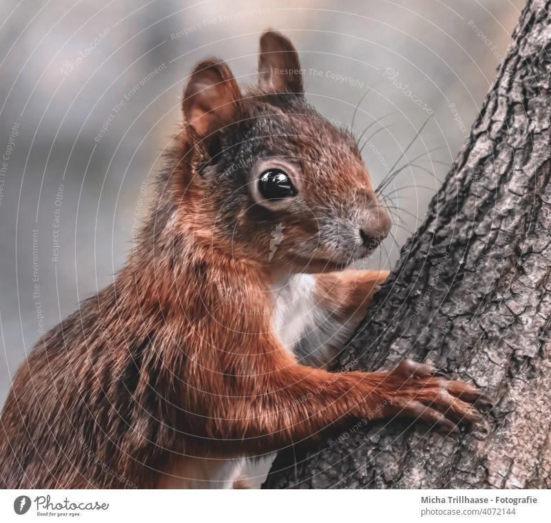 Junges Eichhörnchen Porträt Sciurus vulgaris Tierporträt Tiergesicht Kopf Augen Ohr Nase Maul Pfoten Wildtier Baum Baumstamm Natur klettern niedlich Nahaufnahme