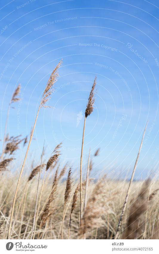 Düne mit Strandhafer Heimat Blauer Himmel Meer Dünengras Frühling Ostsee Küste Natur Außenaufnahme Farbfoto Menschenleer Tag Erholung Mecklenburg-Vorpommern