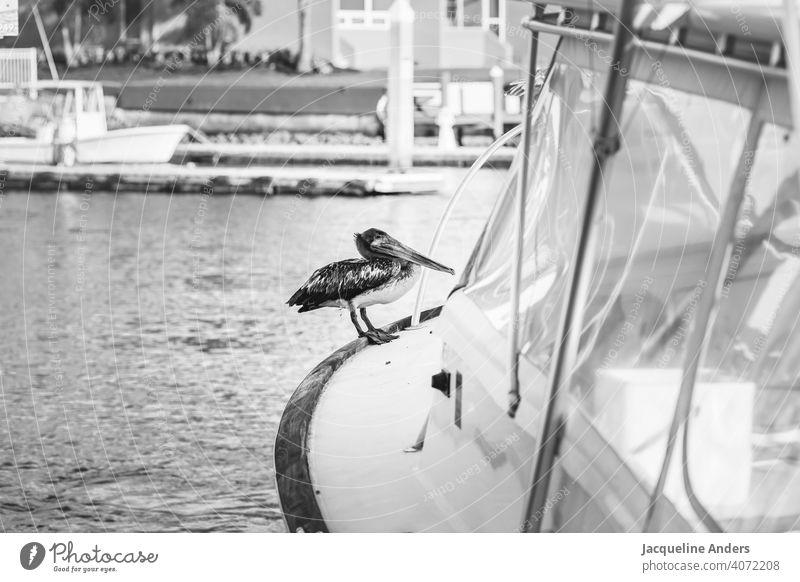 Pelikan sitzt auf einem Boot im Wasser Urlaub Vogel Meer Natur Tier Außenaufnahme Schnabel Wildtier Menschenleer Tierporträt Tag federn schön exotisch Flügel