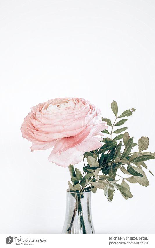 eine rosa Ranunkel in der Vase Blume Pflanze Zierpflanze schön ruhig flower plant calm quiet grün green still stillleben deko pink Ranunkeln Blüte Natur