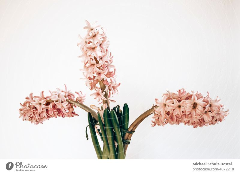 drei rosa hyazinthen Blume Pflanze Zierpflanze schön ruhig flower plant calm quiet grün green still stillleben deko pink hyacinth Hyazinthe Farbfoto Natur Blüte
