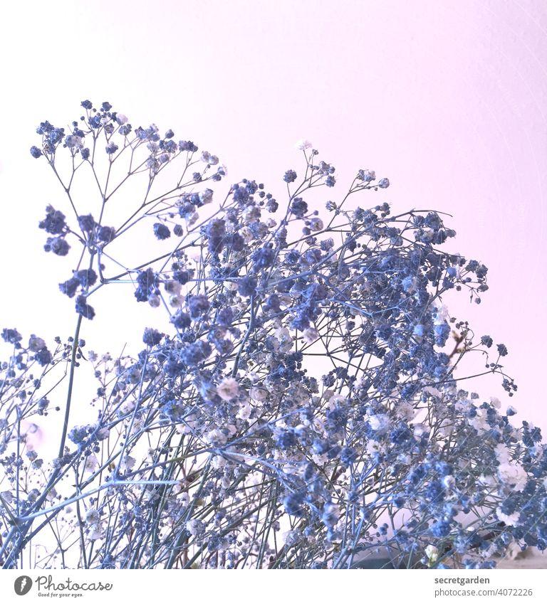 wieso die blau sind ist mir schleierhaft... Schleierkraut Blumenstrauß Natur Innenaufnahme rosa Blüte Pflanze Dekoration & Verzierung weiß Farbfoto