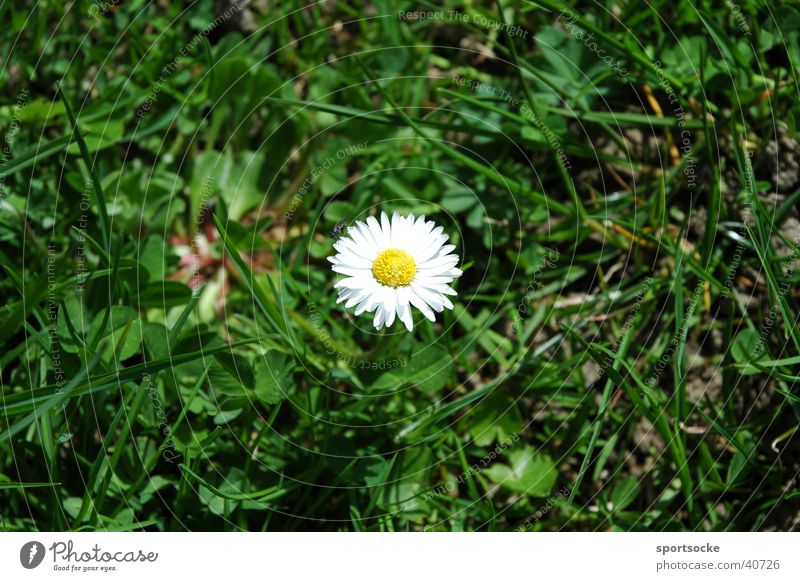 Gänseblümchen Natur Blume Frühling