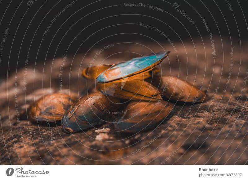 Leere Muschelschalen liegen auf einem Stein am Flußufer muscheln muscheln sammeln Muscheln Farbfoto Natur Menschenleer Außenaufnahme Nahaufnahme Panzer Perle