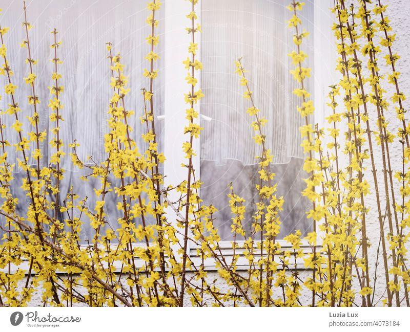 Forsythie vor dem Fenster, dahinter zarte weiße Gardinen Forsythienblüte gelb Frühling hell Vorhang Licht Häusliches Leben Tag Sonnenlicht Fensterscheibe