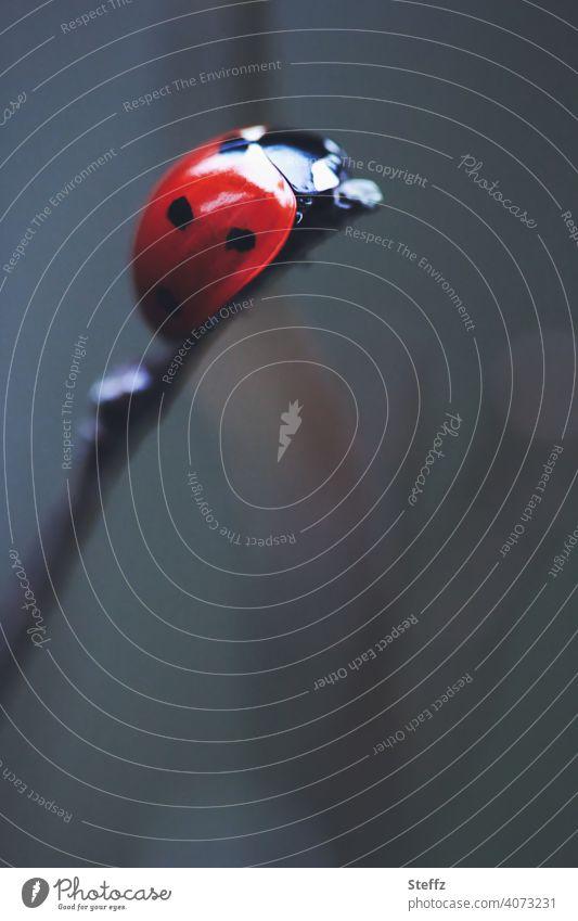 ein krabbelnder Glücksbringer ist ganz oben angelangt Marienkäfer Glücksbote Glückskäfer an der Spitze hoch hoch oben hoch hinauf Glückssymbol Gipfel erklimmen