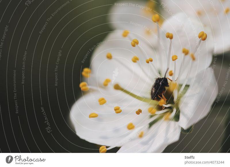 Apfelblüte mit einem Bestäuber Obstbaumblüte Frühlingszweig Blütenkelch Ostern weiße Blüte Pollen Bestäubung Frühlingserwachen April Mai Blütezeit