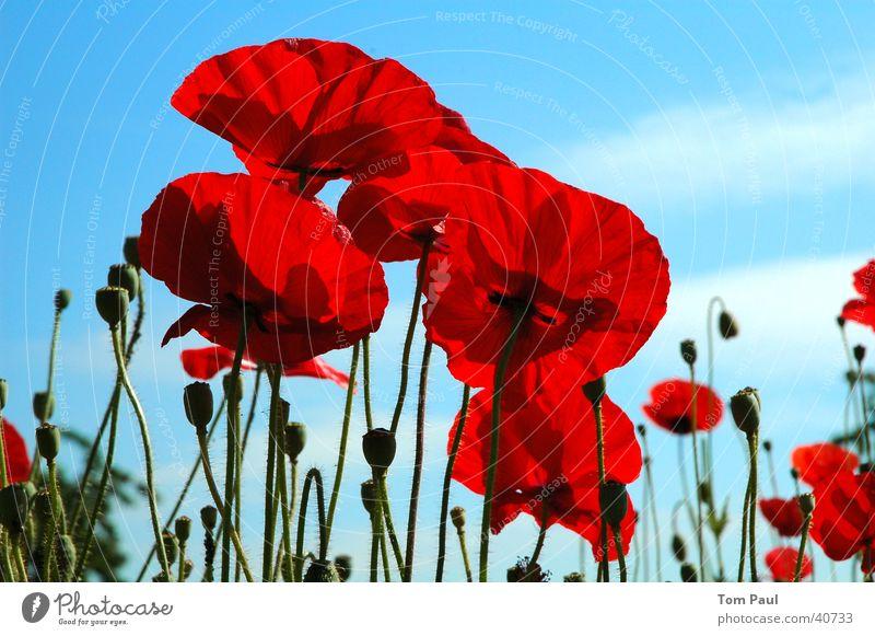 Mohnblumen blau rot Klatschmohn