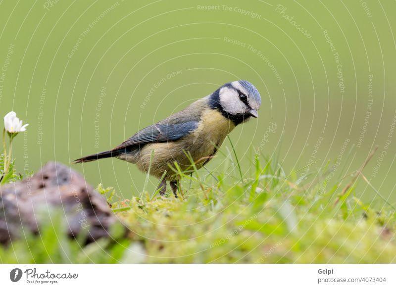 Hübsche Titte mit blauem Kopf nach oben schauend Vogel Tierwelt Natur gelb Winter Schnabel Singvogel Ast wild Feder weiß Blaumeise caeruleus Sitzgelegenheit