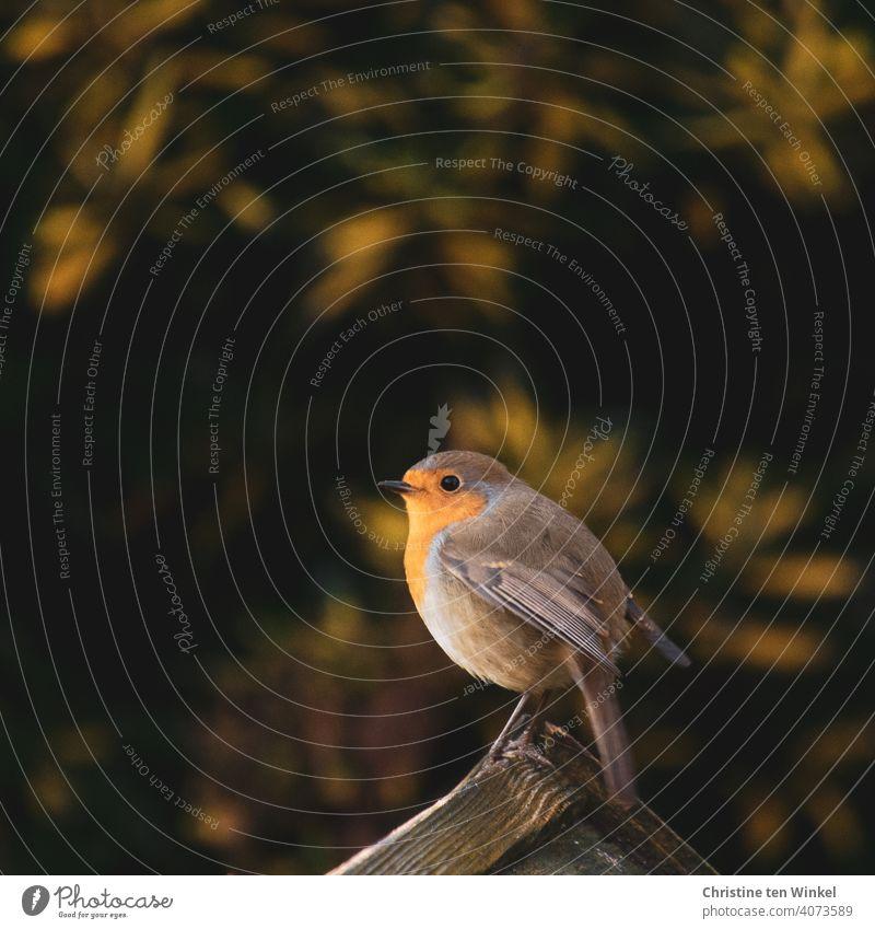 Vogel des Jahres 2021 ...  Rotkehlchen sitzt zufrieden und glücklich auf dem Dach eines Futterhäuschens Erithacus rubecula tierportrait Ganzkörperaufnahme